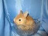 Крольчонок песочного окраса