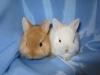 Рыжий и белый карликовые крольчата