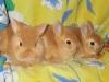 Малыши цветного карлика