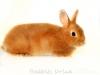 Рыжик из Darling Rabbit- окрас песочный агути