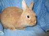 Рыжик из Darling Rabbit