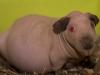 Беременная самочка